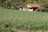 Plantacion de Cebolla