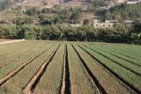 La Cebolla se Produce Abundantemente en Esta Region