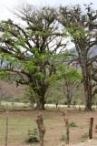 Arboles Gigantes en la Ruta a la Cabecera