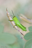 Grasshopper_1642.jpg