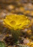Torch Cactus Blossom