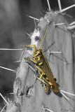 Grasshopper_7415ds.jpg