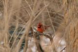 The standard snowy Northern Cardinal