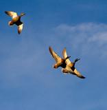 Mallard flyover