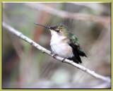 Very tired Hummingbird. (F)