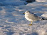 Chilly Seagull