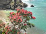 South Piha Flowering Pohutokawa