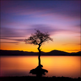 Milarrochy Tree.