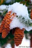 Pine Cones Under First Snow