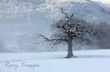 Maentwrog tree