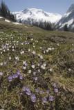 Alpine flowers and meadow, Switzerland