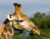 Older Giraffe