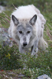 Living on Tundra Time - International Wolf magazine article