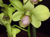 Dendrobium-2.JPG