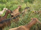 chèvres3-10-04.jpg