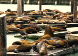 The sea lions @ Pier 39 : they are sleeping or posing for tourists?  ;)