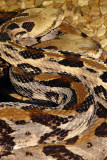 rattimber1659_Timber Rattlesnake