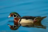 Wood Duck  -  (Aix sponsa)  -  Canard branchu