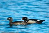 Wood duck pair in breeding plumage