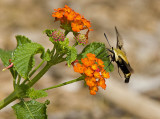 Hummingbird Moth  at Butterfly Weed
