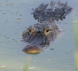 big_gators