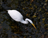 Egret from Above