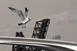 Gull over the Bridges