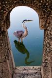 Great Blue Heron through the Railing