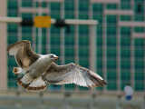 Gull and Pedestrian