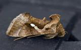 Chrysodeixis eriosoma