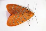HK Moths