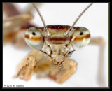 Baby Chinese Mantid Portrait