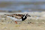 Ruddy Turnstone pb.jpg