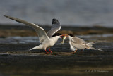 Commen tern feeding juvenile pb.jpg