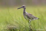 Willet in the grass pb.jpg