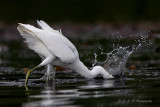 Snowy Egret 3 pb.jpg