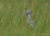 Willet in the grass pb.jpg