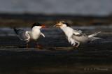 Adult and Juvenile Common Tern pb.jpg