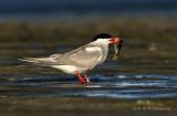 Common Tern with fish pb.jpg