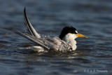 Least Tern bathing pb.jpg