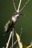 Ruby Throated Hummingbird 5 pb.jpg