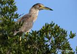 Imm Blak Crowned Night Heron pb.jpg
