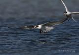 imm common tern pb.jpg