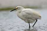 Snowy Egret 8.jpg