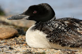 Common Loon pb.jpg