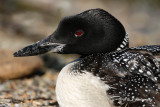 Loon up close pb.jpg