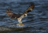 Osprey with catch pb.jpg