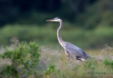 Great Blue Heron2.jpg
