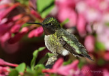 Ruby throated hummingbird pb.jpg