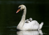 Swan and young pb.jpg